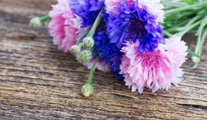 blossom pink and cornflower blue flowers